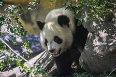 Panda Géant (Vostok 911) Tags: vostok911 panda canon eos40d