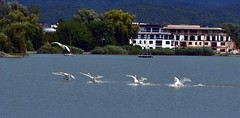 Dance of swans (Ringwald Péter) Tags: lake water birds white blue summer nature tamron nikon