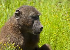 Baboon (18) (Richard.Garnett) Tags: thegreatprojects naankusefoundation naankusewildlifesanctuary chacmababoon capebaboon oldworldmonkey papioursinus