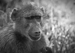 Baboon (17) (Richard.Garnett) Tags: thegreatprojects naankusefoundation naankusewildlifesanctuary chacmababoon capebaboon oldworldmonkey papioursinus