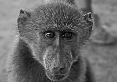 Baboon (6) (Richard.Garnett) Tags: thegreatprojects naankusefoundation naankusewildlifesanctuary chacmababoon capebaboon oldworldmonkey papioursinus