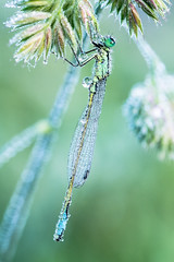 Ischnura elegans (de_frakke) Tags: lantaarntje morning dew insect juffertje dragonfly
