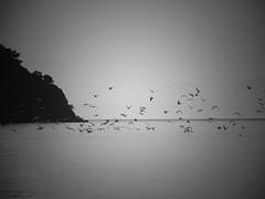seagulls (panoskaralis) Tags: seagull birds flying sea seascape seaview blackandwhite blackwhite greeksummer summer outdoor beach view lesvos lesvosisland mytilene greece greek hellas hellenic nikoncoolpixb700 nikon nikonb700 aegean aegeansea landscape greekisland greeknature