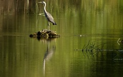 Patience (Faapuroa) Tags: rive rivière river borddeleau canal heron héron gris oiseau bird grey coolpix p1000 nikon