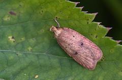 Pesaleedik; Aphomia sociella; Bee Moth (urmas ojango) Tags: lepidoptera liblikalised insecta putukad insects moth leediklased pyralidae nationalmothweek pesaleedik aphomiasociella beemoth
