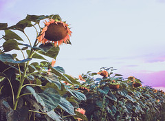 Cliché sunflower photo (Peter Szasz) Tags: colourful calm canon canon80d 80d 2470mm 2470 wide wideangle landscape light nature summer july sky sunset clouds clear chill vibrant vintage flowers flower flora shadows sunflower hungary hajdúbihar hajdu green peaceful purple peace yellow bright blue brown black faded fade cliche cliché seeds petal perspective petals growth growing grow life nowhere field outside outdoors out countryside country leaves leaf tranquil