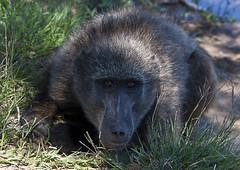 Baboon (36) (Richard.Garnett) Tags: thegreatprojects naankusefoundation naankusewildlifesanctuary chacmababoon capebaboon oldworldmonkey papioursinus
