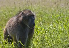 Baboon (32) (Richard.Garnett) Tags: thegreatprojects naankusefoundation naankusewildlifesanctuary chacmababoon capebaboon oldworldmonkey papioursinus