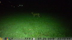 Red Fox (blazer8696) Tags: animal fox imag1670 red redfox vulpes vulpesvulpes brookfield connecticut unitedstates 2019 camera ct ecw game obtusehill stickcorner t2019 trail trap usa