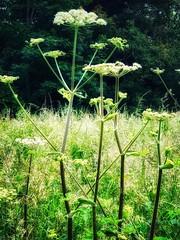 Meadow (tanith.watkins) Tags: grasses wildflowers cowparsley meadow meadowsandfields smileonsaturday