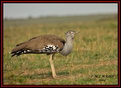 KORI BUSTARD (Ardeotis kori)......MASAI MARA......SEPT 2014 (M Z Malik) Tags: nikon d3x 200400mm14afs kenya africa safari wildlife masaimara kws exoticafricanwildlife exoticafricanbirds ngc npc