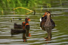 Common Gallinule chloropus (moorhen) and young chicks (DonMiller_ToGo) Tags: birds chicks waterbirds d810 nature naturelovers gallinule moorhen