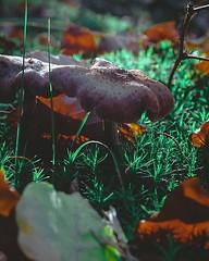 A nice mushroom. . #fungi #fungus #paddenstoel #mushrooms🍄 #mushroomlove #nature #naturelover #naturephotography (The Coded Photographers) Tags: ifttt instagram a nice mushroom fungi fungus paddenstoel mushrooms🍄 mushroomlove nature naturelover naturephotography