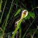 Unidentified snake. Seen at Bako National Park, Sarawak, Borneo