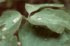 Rain drops (tanith.watkins) Tags: aquilegia raindrops columbine water rain wildflower weeklythemechallenge