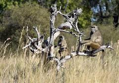 Chacma Baboons on the Okavango Delta (davidparratt) Tags: chacmababoon baboon okavangodelta botswana