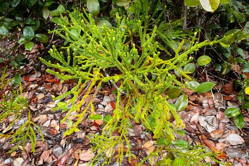Bärlappgewächs, evtl. Lycopodium cernuum, Familie: Lycopodiaceae, Bako National Park, Sarawak, Borneo