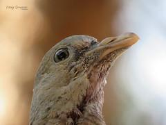 Wood pigeon fledgling. (Vitaly Giragosov) Tags: commonwoodpigeon bird crimea sevastopol russia columbapalumbus вяхирь птицы севастополь крым россия
