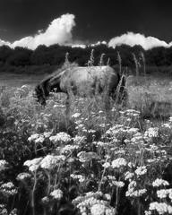 Infrared Pony (GeorgeKBarker) Tags: pony horse grazing black white monochrome mono contrast key infrared 590nm 590 animal nature norwich norfolk