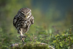 On the march (andy_harris62) Tags: explore explored littleowl owl bird wild wildlifephotography garyjoneswildlifephotography nikon nikond850 nikkor300mmf28 outside outdoors nature naturephotography