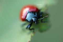 DOF (Phil Arachno) Tags: germany beetle coleoptera insecta arthropoda