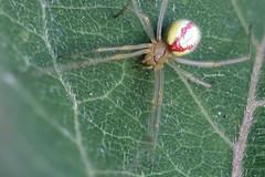 red stripes (Phil Arachno) Tags: germany spider arachnida chelicerata spinne enoplognatha arthropoda theridiidae