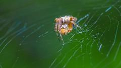 Araneus diadematus (csaciccio) Tags: macro dreams araneus diadematus ragno crociato spider cross