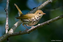 Paruline couronnée - Ovenbird - Seirius Aurocapilla (Gilbert Rolland) Tags: paruline couronnée ovenbird brun seirius aurocapilla