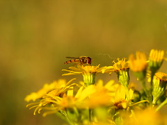 Schwebfliege und ein Haar (ISOZPHOTO) Tags: isoz isozphoto schwebfliege insekt gelb makro 2019 nahaufnahme farben tier bokeh schärfentiefe fokus olympus zuiko e510 50mm wow gorgeous spectacular excellent farbtöne outdoor outside nature natura natur wildlife insecte insect lebewesen animal kreatur creatur dof depthoffield details sommer summer summertime zuiko50mm macro evolt dslr spiegelreflex oly 43 ft fourthirds olympuse esystem
