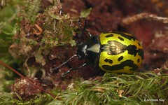 Leaf Beetle, Calligrapha sp., Chrysomelidae (In Memoriam: Ecuador Megadiverso) Tags: andreaskay beetle chrysomelidae coleoptera ecuador leafbeetle sumakkawsayinsitu calligrapha