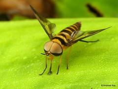 Horse Fly mimicking a wasp, Dichelacera sp.? Tabanidae (In Memoriam: Ecuador Megadiverso) Tags: andreaskay antlers dichelacerasp diptera ecuador horsefly tabanidae waspmimic