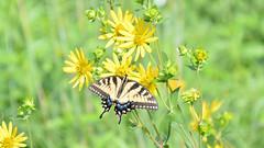 Eastern Tiger Swallowtail Butterfly (jwroach) Tags: eastern tiger swallowtail butterfly butterflies adell durban northeast ohio yellow flowers meadow prairie green grass sunlight nature amazement blue orange black bokuh