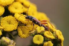 Stenopterus single shot (Phil Arachno) Tags: germany beetle coleoptera käfer insecta arthropoda cerambycidae
