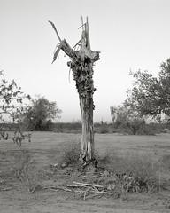 Image Portra 1.18-Edit (Jeff D Welker) Tags: ribsv1 2017 arizona carlzeissplanarf35100mmcf carnegieagigantea hasselblad501cm kodakportra160 pinalcounty saguarocactus