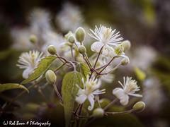 20190720-2218-Christoffelkruid-bw (Rob_Boon) Tags: christoffelkruid macro on1 plant wijlre robboon flower
