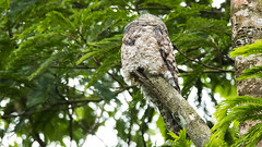 Great Potoo (Rez Mole) Tags: great potoo nyctibiusgrandis