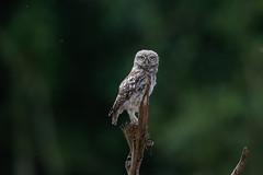 Little Owl-8500047 (seandarcy2) Tags: birds owl owls littleowl bucks uk wild wildlife woodland birdsofprey
