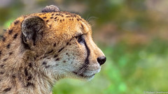 Game Day (Robert Streithorst) Tags: cheetah cincinnatizoo fur profile robertstreithorst zoosofnorthamerica bigcat
