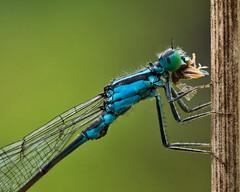 Libelle am Fressen (Naturportal) Tags: panasonic dmcgx8 olympus m60mm f28 macro makro libelle dragonfly