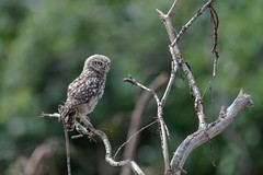 Little Owl-8500050 (seandarcy2) Tags: birds owl owls littleowl bucks uk wild wildlife woodland birdsofprey