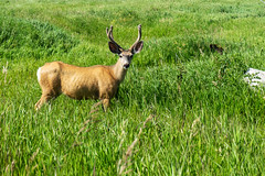 Calgary Urban Deer (Bracus Triticum) Tags: calgary urban deer animal アルバータ州 alberta canada カナダ カルガリー 7月 七月 文月 shichigatsu fumizuki bookmonth 2019 reiwa summer july