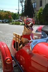 Best Travel Buddy (ilovecoffeeyesido) Tags: woodstockil sidecar doggles watsonian doginasidecar gooddog