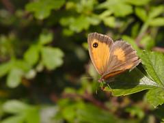 Gatekeeper (stephen.reynolds) Tags: butterfly thornton reservoir leicestershire brown orange black leaf sunlight gatekeeper