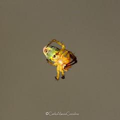 . (CarloAlessioCozzolino) Tags: ragno spider cornatedadda portodadda natura nature macro animali animals