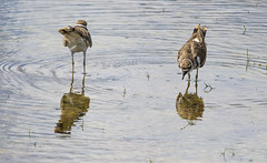 front and back (Mark.Swanson) Tags: glacialpark mchenrycounty illinois mchenrycountyconservationdistrict conservationarea bird killdeer charadriusvociferus
