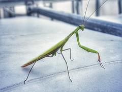 Mantis (wojciechpolewski) Tags: mantis macrophotography macro insect nature photo photos