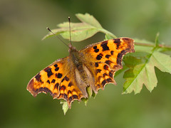 Comma (stephen.reynolds) Tags: butterfly thornton reservoir leicestershire brown orange black leaf sunlight comma