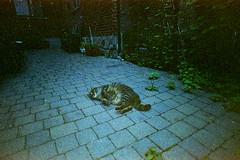 (Just A Stray Cat) Tags: konica minolta centuria 800 expired cat fat stray feline felines gato cats kitty kittens 35mm 35 mm film analog analogue olympus mjuii mju ii stylus epic