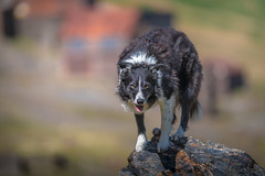31/52 Paddy Mine (JJFET) Tags: 31 52 weeks for dogs paddy sheepdog border collie