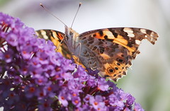Painted Lady (jdathebowler Thanks for 4 Million + views.) Tags: paintedlady butterfly buddleiabush butterflybush buddleia lepidoptera insect flower fauna ngc naturethroughthelens greatphotographers
